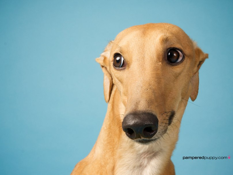 39245418-greyhound-wallpapers